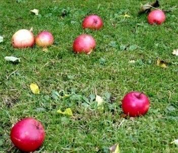 Ramasser les pommes du verger